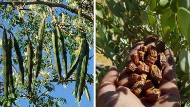 Photo of فلاحون جزائريون ينجحون في زراعة نباتات جديدة في الصحراء