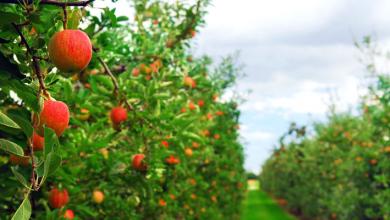 Photo of تفاح بوحمامة ولاية خنشلة من اجود انواع التفاح في العالم