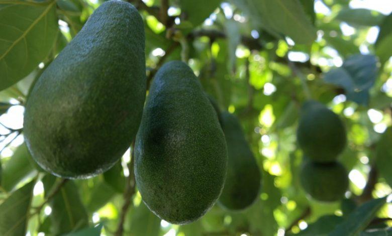 شروط نجاح زراعة الأفوكادو