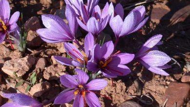 Photo of 10 أشياء يجب عليك معرفتها حول طريقة زراعة الزعفران
