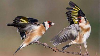 Photo of طائر الحسون .. كيف أحبه الجزائريون عبر التاريخ؟!