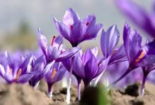 صورة تجارب ناجحة لزراعة الزعفران في خنشلة