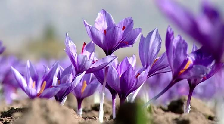 تجارب ناجحة لزراعة الزعفران