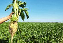 صورة زراعة الشمندر السكري في الجزائر لإيقاف استيراد مادة السكر