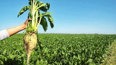 زراعة الشمندر السكري